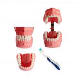 BM1 - Oral hygiene model